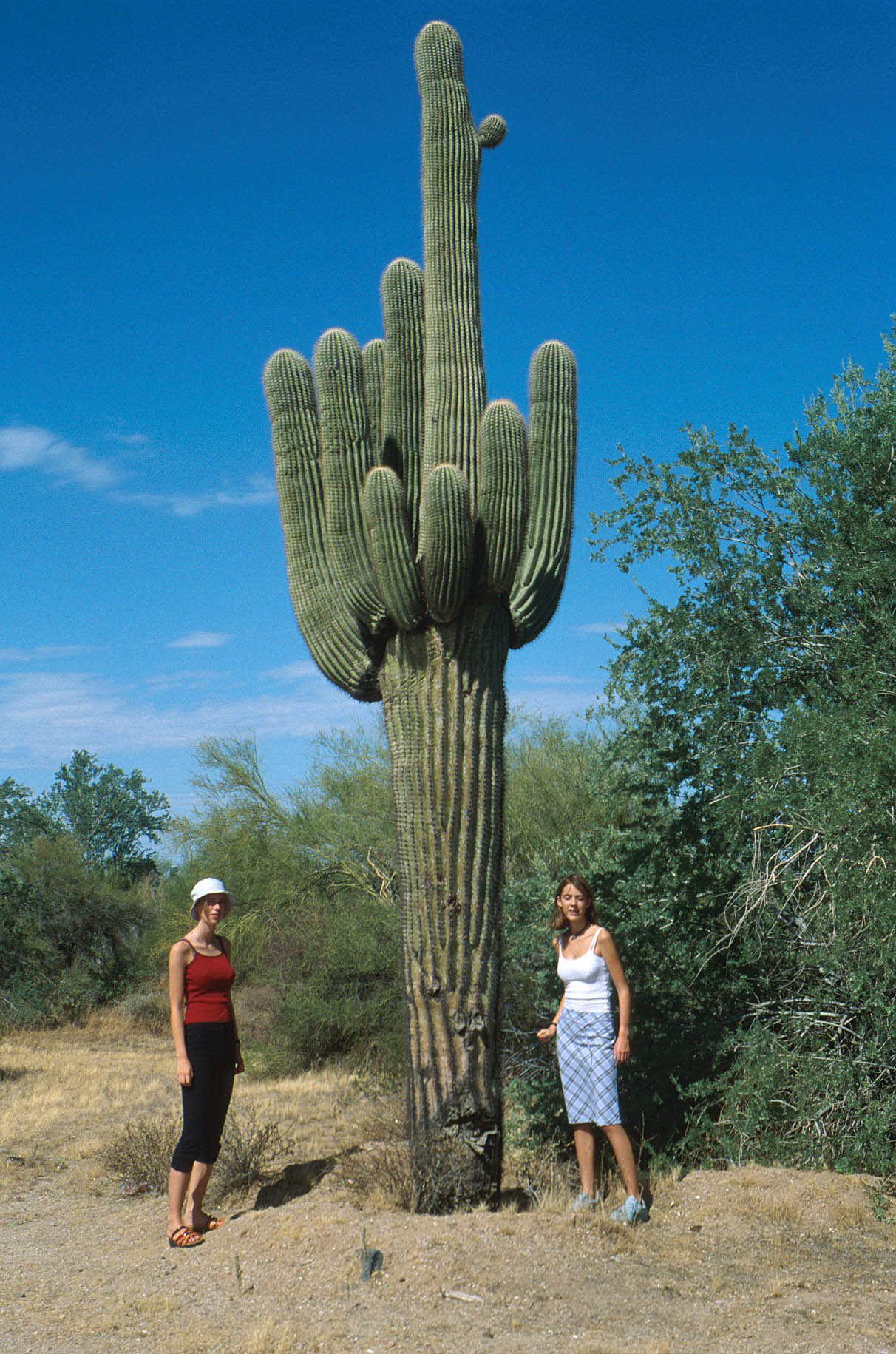 saguaro kaktus